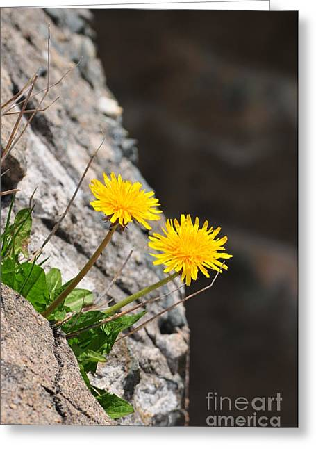 Catherine Greeting Cards - Dandelion Greeting Card by Catherine Reusch  Daley