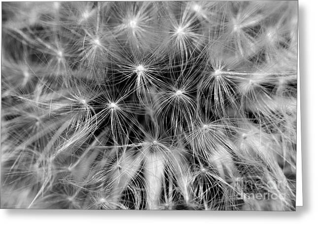 Clare Scott Greeting Cards - Dandelion Clock Greeting Card by Clare Scott
