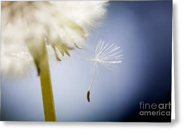 Close Focus Floral Greeting Cards - Dandelion Greeting Card by Kati Molin