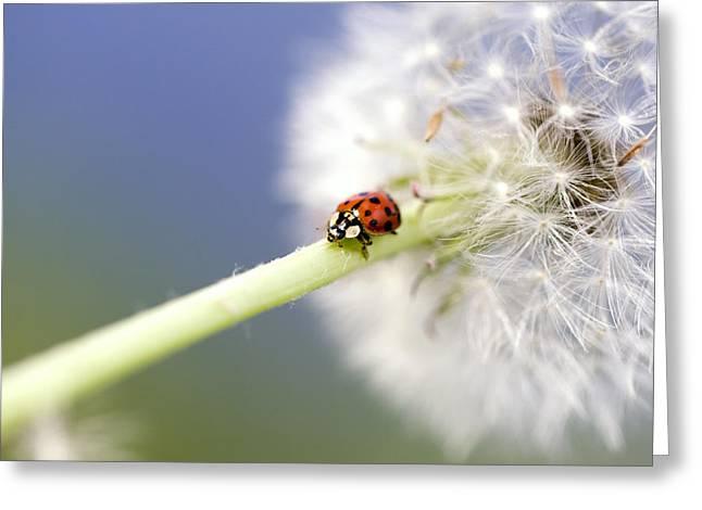 Makro Greeting Cards - Dandelion Ladybugs Greeting Card by Falko Follert