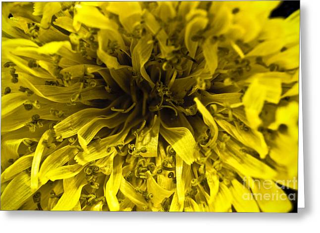 Macro Finalized Photographs Greeting Cards - Dandelion Greeting Card by Ryan Kelly