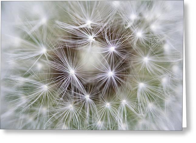 Dandelion Taraxacum Officinale Seed Greeting Card by Konrad Wothe