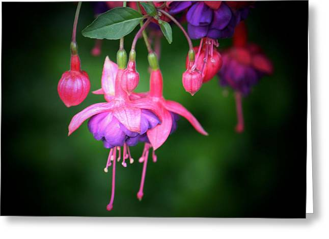 Fushia Photographs Greeting Cards - Danglers Greeting Card by Karen M Scovill