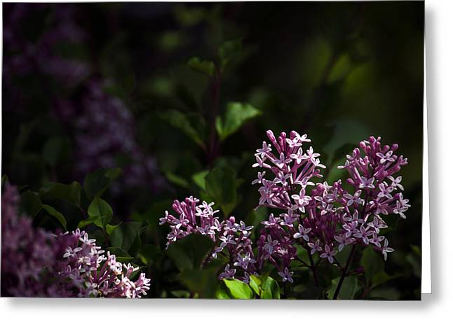 Dappled Light Greeting Cards - Dapple Lilacs Greeting Card by Kelly Anderson