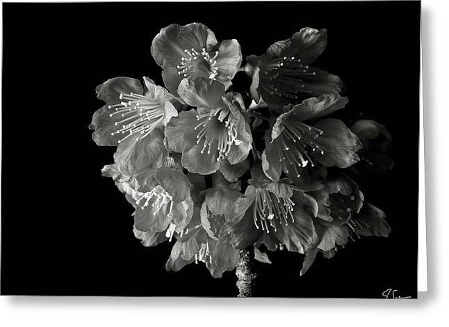 Flower Photos Greeting Cards - Dark Cherry Blossoms in Black and Whtei Greeting Card by Endre Balogh