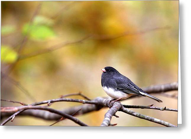 Birds On A Branch Greeting Cards - Dark-Eyed Junco Greeting Card by Karol  Livote