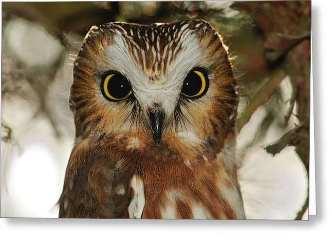 Saw Greeting Cards - Dark Eyes - Saw-whet Owl Greeting Card by Tony Beck
