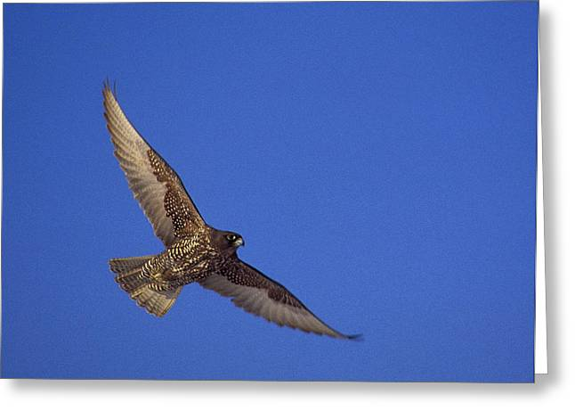 Majestic Falcon Greeting Cards - Dark Morph Gyrfalcon Greeting Card by Tony Beck