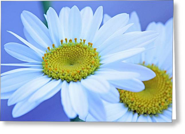 Darling daisies Greeting Card by Becky Lodes