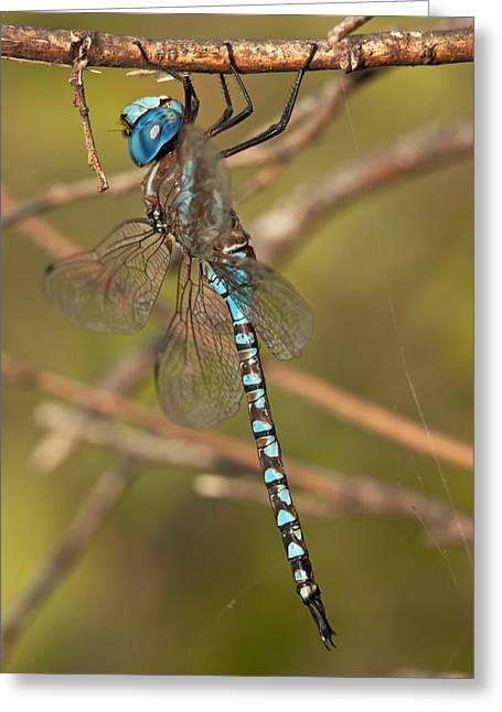 Blue Darner Dragonfly Greeting Cards - Darner Profile Greeting Card by Robert Salinas