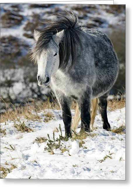 Equus Caballus Greeting Cards - Dartmoor Pony Greeting Card by Adrian Bicker