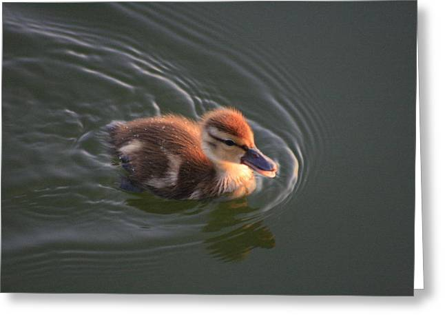 Ducklings Greeting Cards - Dawn Duckling at Captree Greeting Card by Christopher Kirby