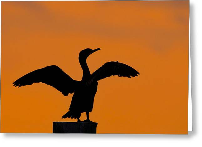 Double-crested Cormorant Greeting Cards - Dawn of a Double-crested Cormorant  Greeting Card by Tony Beck