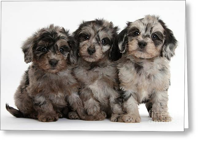 Domesticated Pet Greeting Cards - Daxiedoodle Poodle X Dachshund Puppies Greeting Card by Mark Taylor