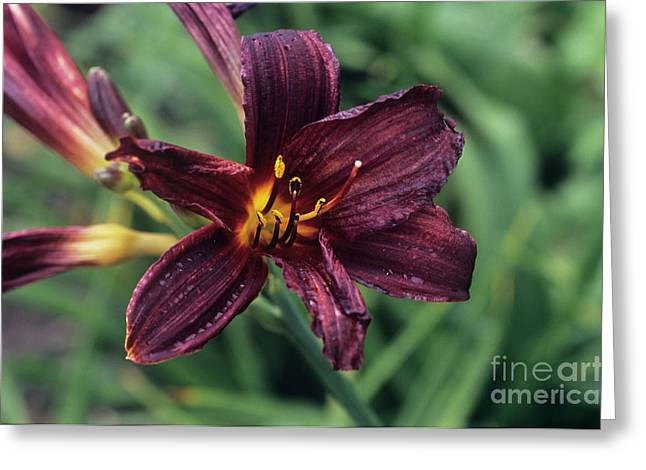 Monocotyledon Greeting Cards - Day Lily american Revolution Greeting Card by Adrian Thomas