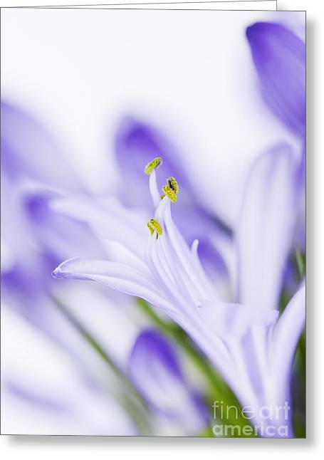 Agapanthus Greeting Cards - Daydreamer Greeting Card by Kim Fearheiley