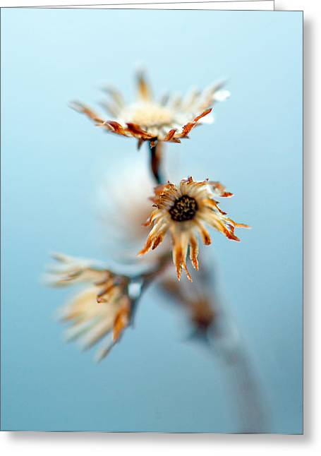 Winter Flowers Greeting Cards - Dead Flower Greeting Card by Dennis Clark