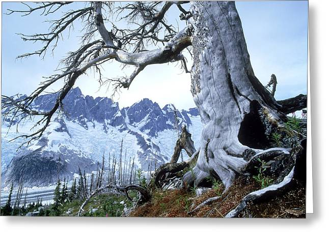 Destructive Greeting Cards - Dead Spruce In Old Forest Fire, Nabob Greeting Card by David Nunuk