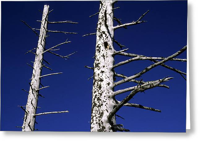 Seward Greeting Cards - Dead Trees In Alaska Greeting Card by Stacy Gold