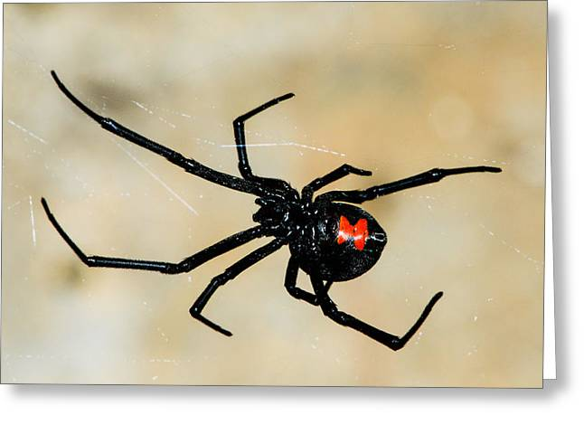 Black Widow Spider Greeting Cards - Deadly Hourglass Greeting Card by David Waldo