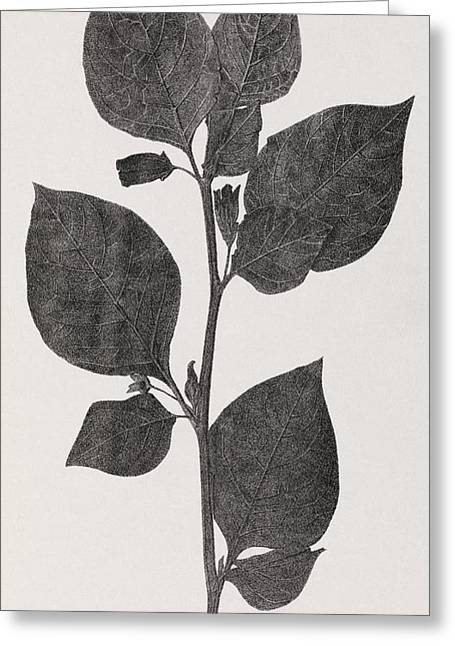 Deadly Nightshade, 19th Century Artwork Greeting Card by Middle Temple Library