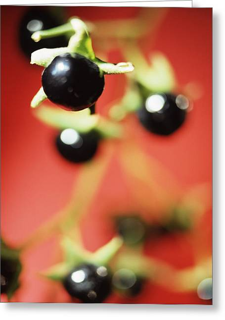 Medicinal Plant Greeting Cards - Deadly Nightshade Berries Greeting Card by Lawrence Lawry