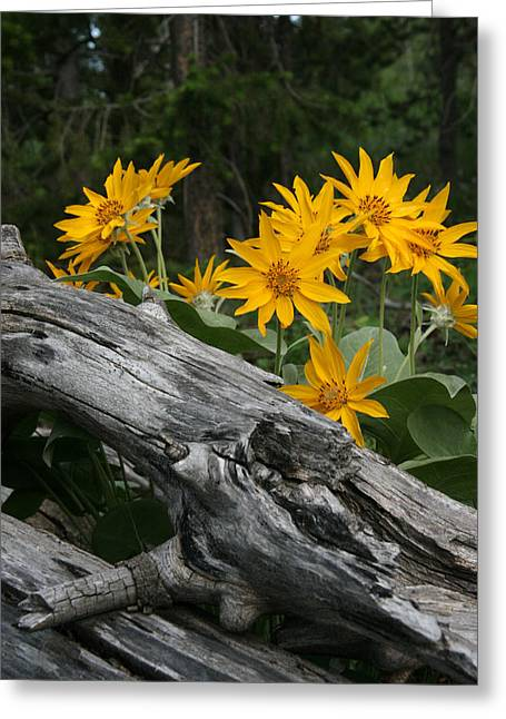 Yellow Sunflower Pyrography Greeting Cards - Deadwood Guardians  Greeting Card by Rachel Hessinger