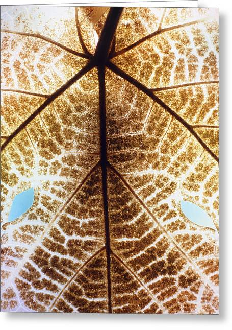 Grape Leaf Greeting Cards - Decomposition Of Leaf Of A Grape Vine Greeting Card by Dr Jeremy Burgess