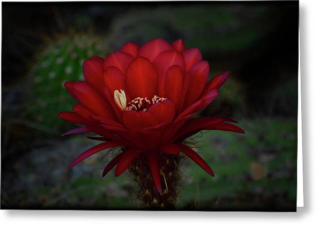 Torch Cactus Greeting Cards - Deep Red Greeting Card by Saija  Lehtonen