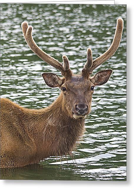 Yosi Cupano Greeting Cards - Deer in the water Greeting Card by Yosi Cupano