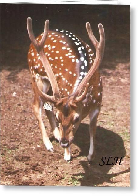 Deer Greeting Card by Lee Hartsell