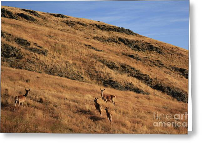 Wildlife Sunset Greeting Cards - Deer on mountain 3 Greeting Card by Pixel  Chimp