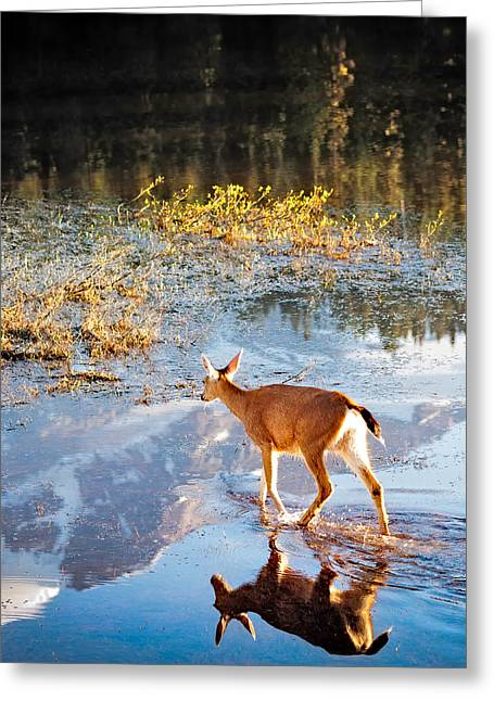 Wildlife Lakes Greeting Cards - Deer on Reflection Lake Greeting Card by Alvin Kroon