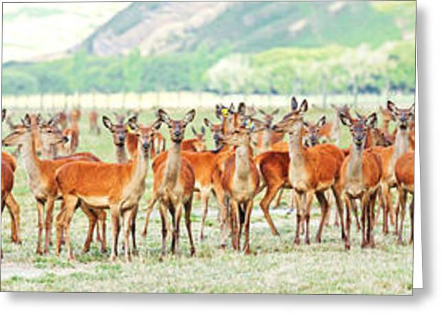 Deers Greeting Card by MotHaiBaPhoto Prints