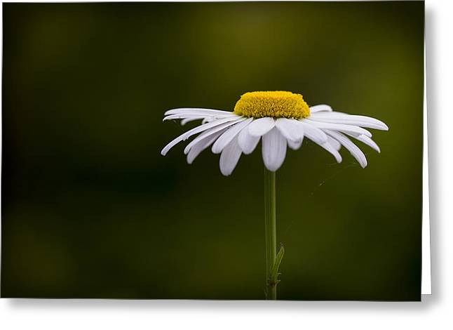 Defiant Daisy Greeting Card by Clare Bambers