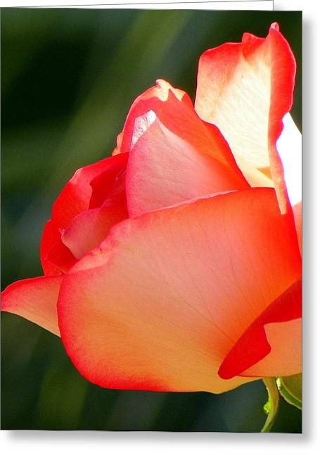 Rose Petals Greeting Cards - Delicate Beauty Greeting Card by Karen Wiles