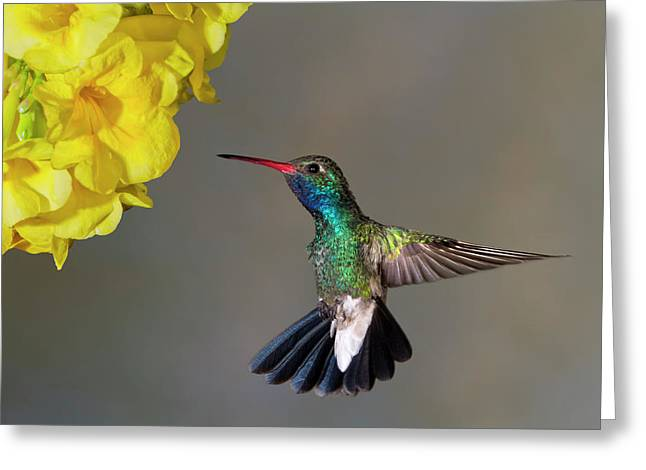 Hummingbirds Greeting Cards - Delicate Greeting Card by Janet Fikar