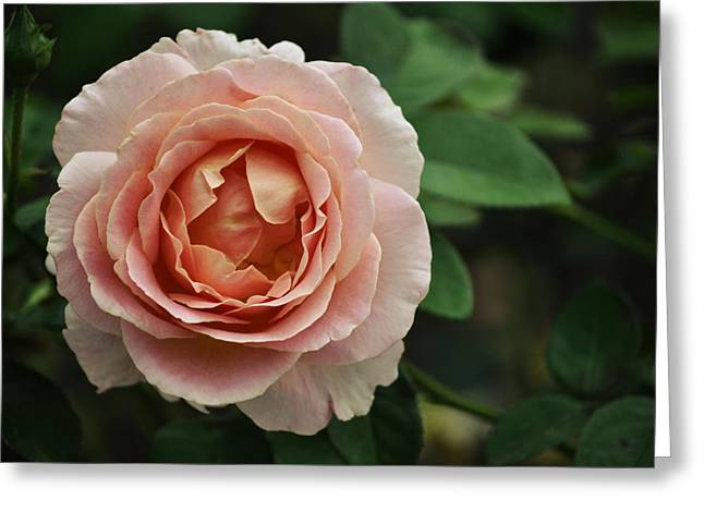 Wein Greeting Cards - Delicate Pink Rose Greeting Card by Mary Machare