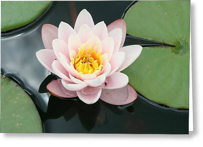 Waterlily Stamen Greeting Cards - Delicate Waterlily Greeting Card by Christiane Schulze Art And Photography