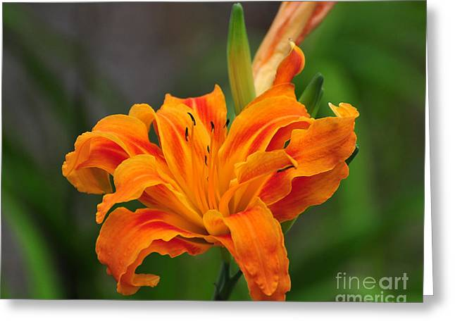 Pollenation Greeting Cards - Delightful Daylily Greeting Card by Al Powell Photography USA