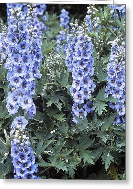 Larkspur Greeting Cards - Delphinium blue Dawn Greeting Card by Adrian Thomas