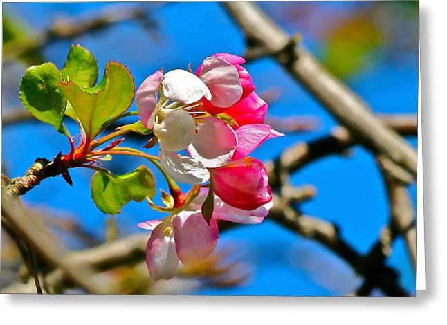 Maggie Vlazny Greeting Cards - Demure Cherry Blossom Greeting Card by Maggie Vlazny