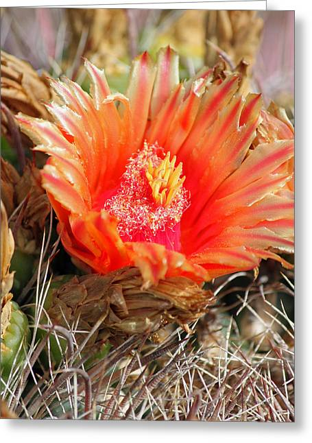 Giclee Cactus Greeting Cards - Desert Beauty Greeting Card by Suzanne Gaff