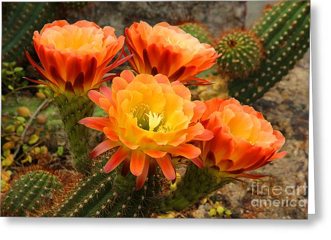 Chevalier Greeting Cards - Desert Blossoms Greeting Card by Elizabeth Chevalier