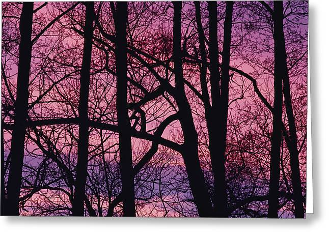 Chromatic Greeting Cards - Detail Of Bare Trees Silhouetted Greeting Card by Mattias Klum