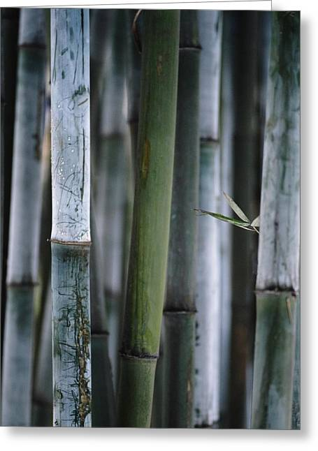 Green Day Greeting Cards - Detail Of Green Bamboo In Bamboo Park Greeting Card by Axiom Photographic