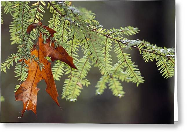 Plant Physiology Greeting Cards - Detail Of Oak Leaf Caught In Hemlock Greeting Card by Raymond Gehman