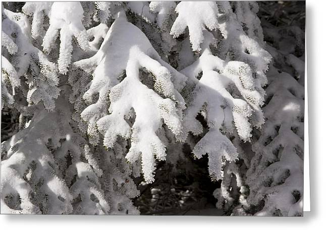 Conifer Tree Greeting Cards - Detail Of Snow On Conifer Branches Greeting Card by Tim Laman