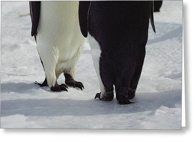 Antarctic Ocean Greeting Cards - Detail Of The Feet Of A Pair Of Emperor Greeting Card by Bill Curtsinger