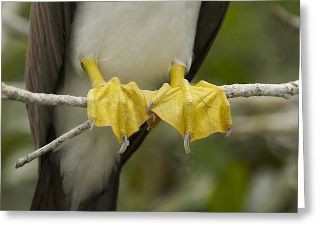 Brown Booby Greeting Cards - Detail Of The Yellow Feet Of A Brown Greeting Card by Tim Laman